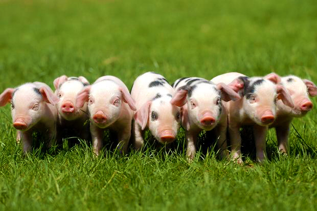 Pink Pigs in A Rural Haven